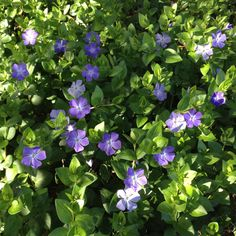 Vinca major is a great ground cover under trees