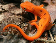 The Eastern Newt or Red-spotted Newt, Notophthalmus Viridescens, is a common salamander of Eastern North America.