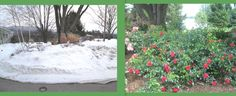 Spring Care and Pruning Tips for Flower Carpet Roses   Your Easy Garden
