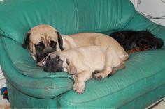 """Le mastiff, abréviation de l'anglais Old English Mastiff, est une race de chien.lion est au chat, le mastiff l'est au chien (""""What the Lion is to the Cat the Mastiff is to the Dog"""").  En termes de masse, c'est une des plus grosses races de chien, bien que dépassée en taille par l'Irish Wolfhound et le dogue allemand (section 2.1 molossoïde, type dogue).."""