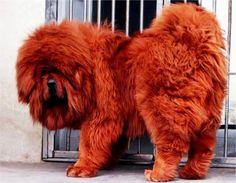 Mastin tibetano - Blog de mascotas de PerrosGatosymas.es