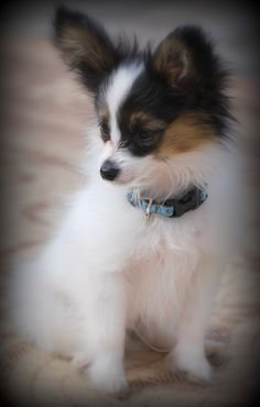 Papillon Puppy ** You can get additional details about pet dogs at the image link.