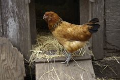 35 Chicken Coops Ideas Coops Chickens Backyard Chicken Coop