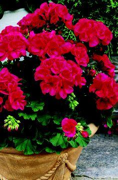 Cherry Rose - Americana Geranium