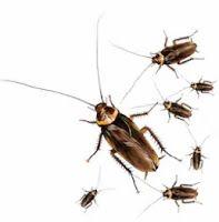 تفســــــير الاحــــــــــلام الصراصير في المنام Cockroaches Insects Animals