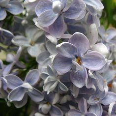 IMG_2867 Blue lilac