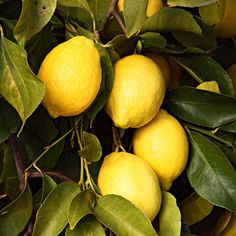 Growing Citrus and Subtropical Fruits Reap the benefits of growing citrus and other subtropical fruits in your own backyard.