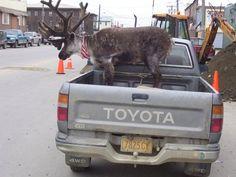 """A Reindeer named """"Velvet Eyes"""" in Nome, Alaska"""