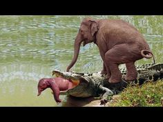 Elephant Herd Against Crocodile Tried To Save Baby Elephant In Riverside. The motherhood is the most precious thing. Baby Zebra, Baby Elephant, Zoo Architecture, Bull Mastiff Puppies, Hunting Baby, Saltwater Crocodile, Animal Magic, Mundo Animal, Wild Dogs
