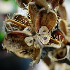 split, dried, seed pods of the giant himalayan lily..