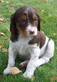 you can't tell me this is the cutest dog ever. I now want a Brittany Spaniel.