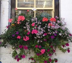 More flower pictures today in St. Ives, Cornwall. I'm not sure what I would do if a face peaked out of a window...