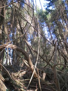 lianes, jardin jungle karlostachys, eu, normandie