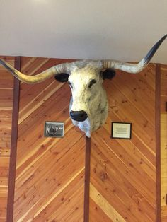 Longhorn at Headwaters Livestock.
