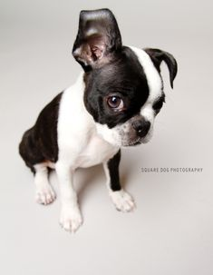 https://flic.kr/p/84rwg7 | Guilty Boston Terrier | At least that's what it looks like to me.  He hadn't done anything wrong...    Exploredededed