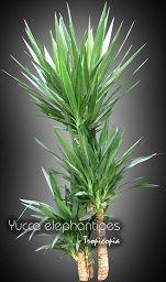 Dracaena - Yucca elephantipes - Spineless yucca, Palm lily