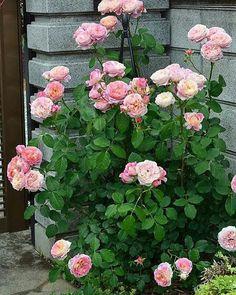 #Repost @albert_sun3  My roses クロードモネ Claude Monet ナーセリーの説明では樹形がコンパクトなシュラブと書かれていると思います うちでは門扉にちょうどいい感じです  June2016 in my garden  #rose#roses#バラ#薔薇#ローズ#flower#flowers#花のある暮らし#花#ザ花部#フラワー#garden#gardening#gardendesign #hage#jardin #ナチュラルガーデン#ガーデニング#ガーデン#庭#写真#写真好きな人と繋がりたい #ファインダー越しの私の世界 #Nikon#nikonphotography #仙台#風景#景色#beautiful#view