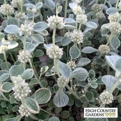 Silver Edged Horehound is one our very best xeric groundcovers for poor soil areas with hot, sunny growing conditions. The soft felted leaves are green with a bright silver underside that curls up to give the leaves a silver edge.