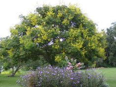 View picture of Golden Rain Tree, Golden Raintree, Panicled Goldenraintree (Koelreuteria paniculata) at Dave's Garden.  All pictures are contributed by our community.