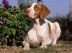 Braque Saint Germain, St. Germain Pointing Dog