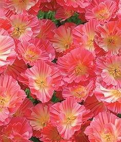 CA Watermelon Heaven Poppy Seeds and Plants, Annual Flower Garden at Burpee.com