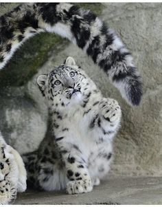"Snow leopard cub. ""It's SO fluffy, I can't resist Mama's tail!!"""