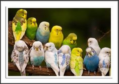 Budgies bred in different colours {Australian spelling}