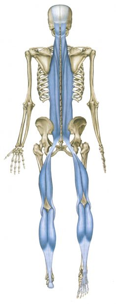 The Superficial Back Line (SBL) connects and protects the entire posterior surface of the body like a carapace from the bottom of the foot to the top of the head in two pieces - toes to knees, and knees to brow. When the knees are extended, as in standing, the SBL functions as one continuous line of integrated fascia.