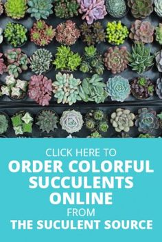 Order wholesale succulents online from The Succulent Source