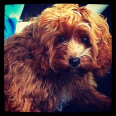 Cavoodle puppy Fifi