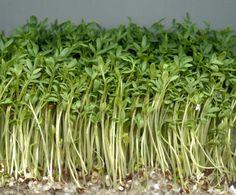 Свежее лицо - кресс-салат - в нем содержатся антиоксиданты, снимающие воспаление и железо (переносчик кислорода), которое придаст коже здоровый вид. Регулярное употребление кресс-салата снижает также риск повреждения ДНК. Несколько раз в неделю по 80 гр. Растение неприхотливое, можно выращивать на подоконнике. ->большое количество антиоксидантов и железа, которые предотвращают и снимают воспаления на коже, помогают ей быть более увлажненной и иметь здоровый цвет.  Съедайте всего 80 граммов…