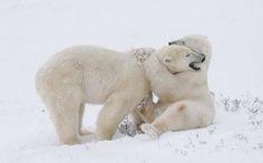 Cute Creatures, Beautiful Creatures, Animals Beautiful, Baby Animals, Cute Animals, Arctic Animals, Animal Hugs, Bear Animal, Bear Photos