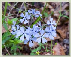 Wild Blue Phlox - Phlox divaricata