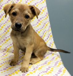 """Pinocchio is an adoptable Husky Dog in Niles, IL. The """"Disney"""" litter is about 8 weeks old and came to us from a loving family. They have the beautiful color pattern of a Husky and the cute shape of a..."""