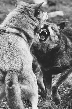 Humans are like wolves, very docile and loving, But when we are in trouble or in danger, we fight to the end, until the loser is defeated.