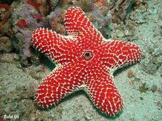 http://www.starfish.ch/Fotos/echinoderms-Stachelhauter/starfish-Seesterne/Euretaster-insignis3.jpg