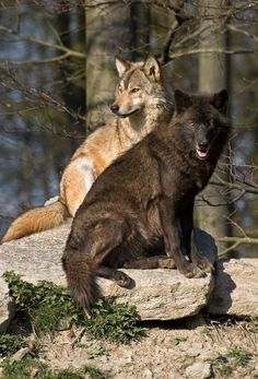 Remarkably Interesting Facts About Wolves You'd Love to Know Wolf Images, Wolf Photos, Wolf Pictures, Nature Animals, Animals And Pets, Cute Animals, Wild Animals, Wolf Love, Beautiful Wolves