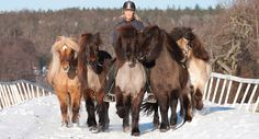 Icelandic horses, one ridden and four being ponied in various shades of dun