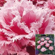 Update your lawn with graceful clusters of Queensland tulips. With stunning light pink ruffled petals, they're sure to create an elegant display. Summer Bulbs, Spring Flowering Bulbs, Spring Plants, Spring Bulbs, Spring Blooms, Red Plants, Parrot Tulips, Pink Tulips, Tulips Flowers