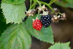 Blackberries are a healthy snack or dessert, but if you experience diarrhea after eating them, blackberries might not be a good food choice for you. Diarrhea can occur for several reasons after you eat blackberries. Food For Nausea, Diarrhea Food, Diarrhea Causes, Yeast Infection Symptoms, Diarrhea Remedies, Bipolar Symptoms, Hypothyroidism Symptoms, Allergy Clinic, Sinus Inflammation