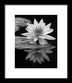 "#Waterlily Framed Print featuring the photograph ""Water Lily Reflections I"" by Dawn Currie #blackandwhite #elegant"