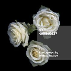 Stock Photo : FLORIOGRAPHY...WHITE ROSES...