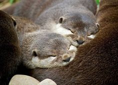 Lovely young otter family sleeping together