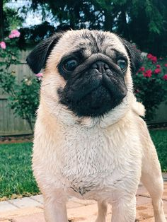 My pug Loafy! L My pug Loafy! Pugs Tumblr, Funny Dogs, Cute Dogs, Baby Pug Dog, Cute Animal Clipart, Pug Pictures, Pug Photos, Funny Photos, Pug Puppies