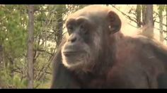 100 retired laboratory chimps have freedom ♥ Please share ♥