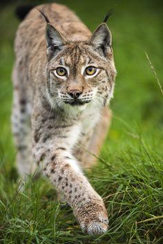 Eurasian Lynx - Taken at the WHF in Kent.