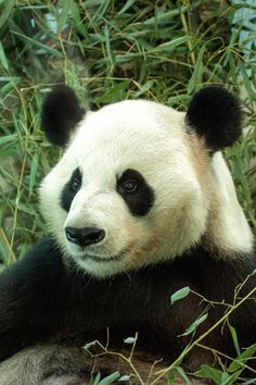 Panda from Atlanta Zoo