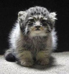 wild russian kitten