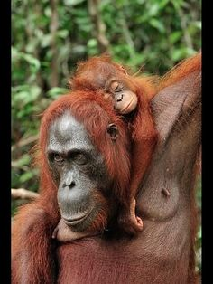 Orangutan mother with her youngster.