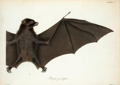 Pteropus pselaphon. From New York Public Library Digital Collections.